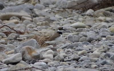 Journal de Biodiversité en Biovallée – Le Petit Gravelot